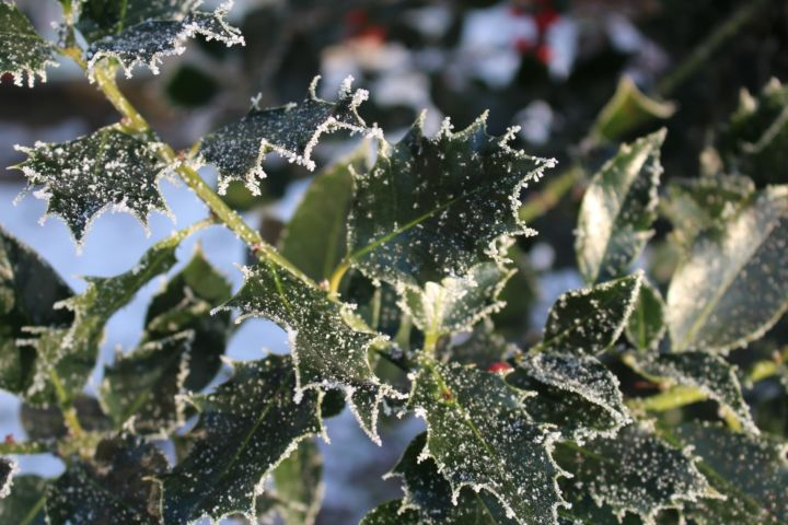 Frost Holly
